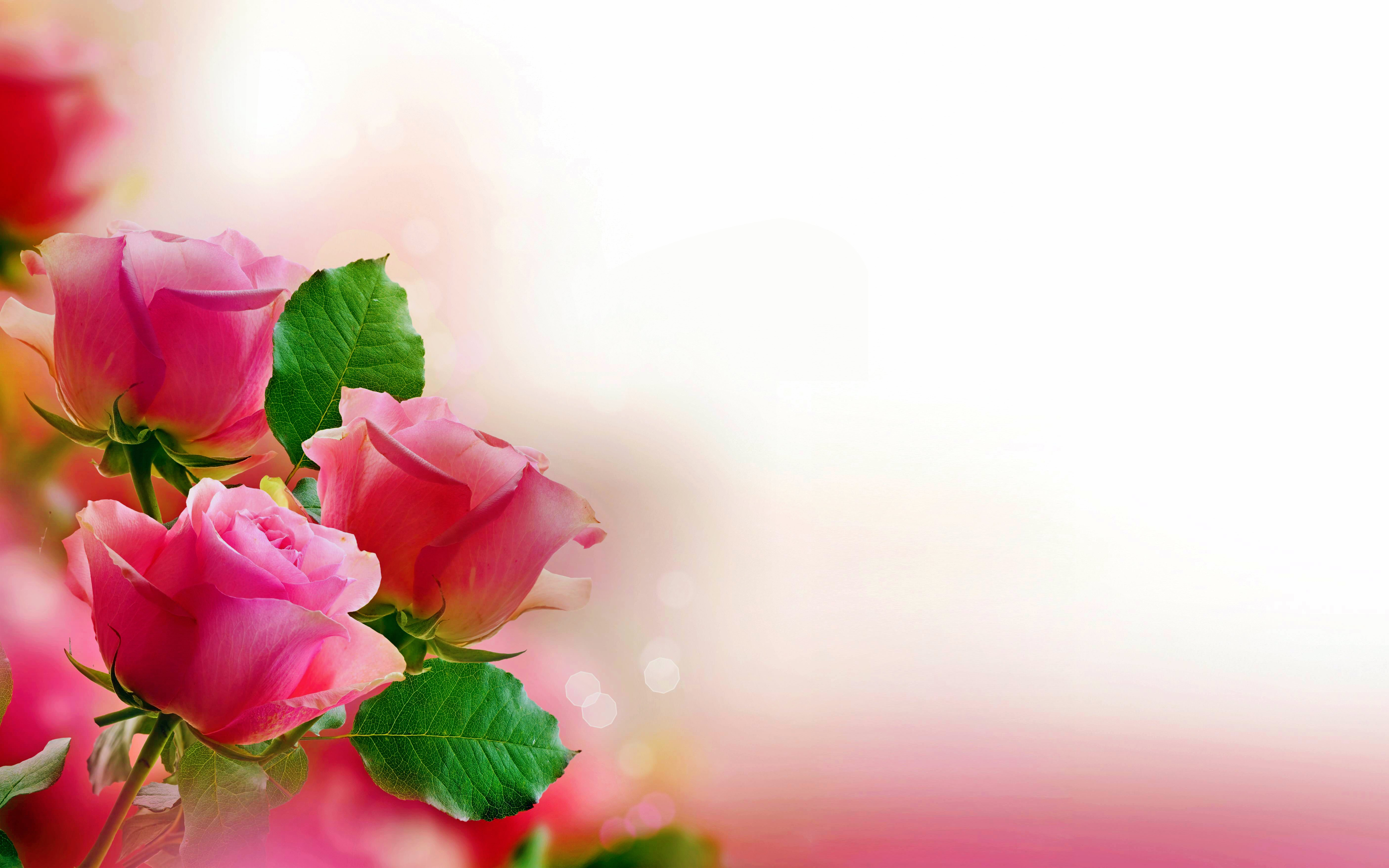 95 Pink Rose HD Wallpapers Backgrounds 5616x3510
