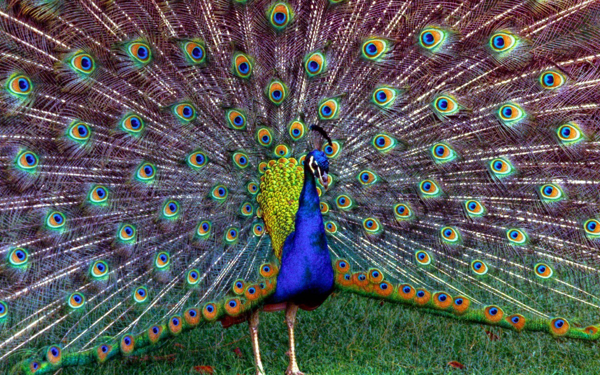 Peacock Wallpaper Desktop