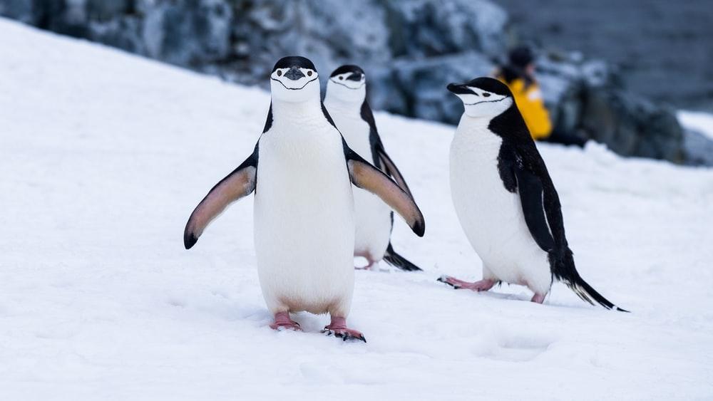 500 Best Penguin Pictures [HD] Download Images on Unsplash 1000x563