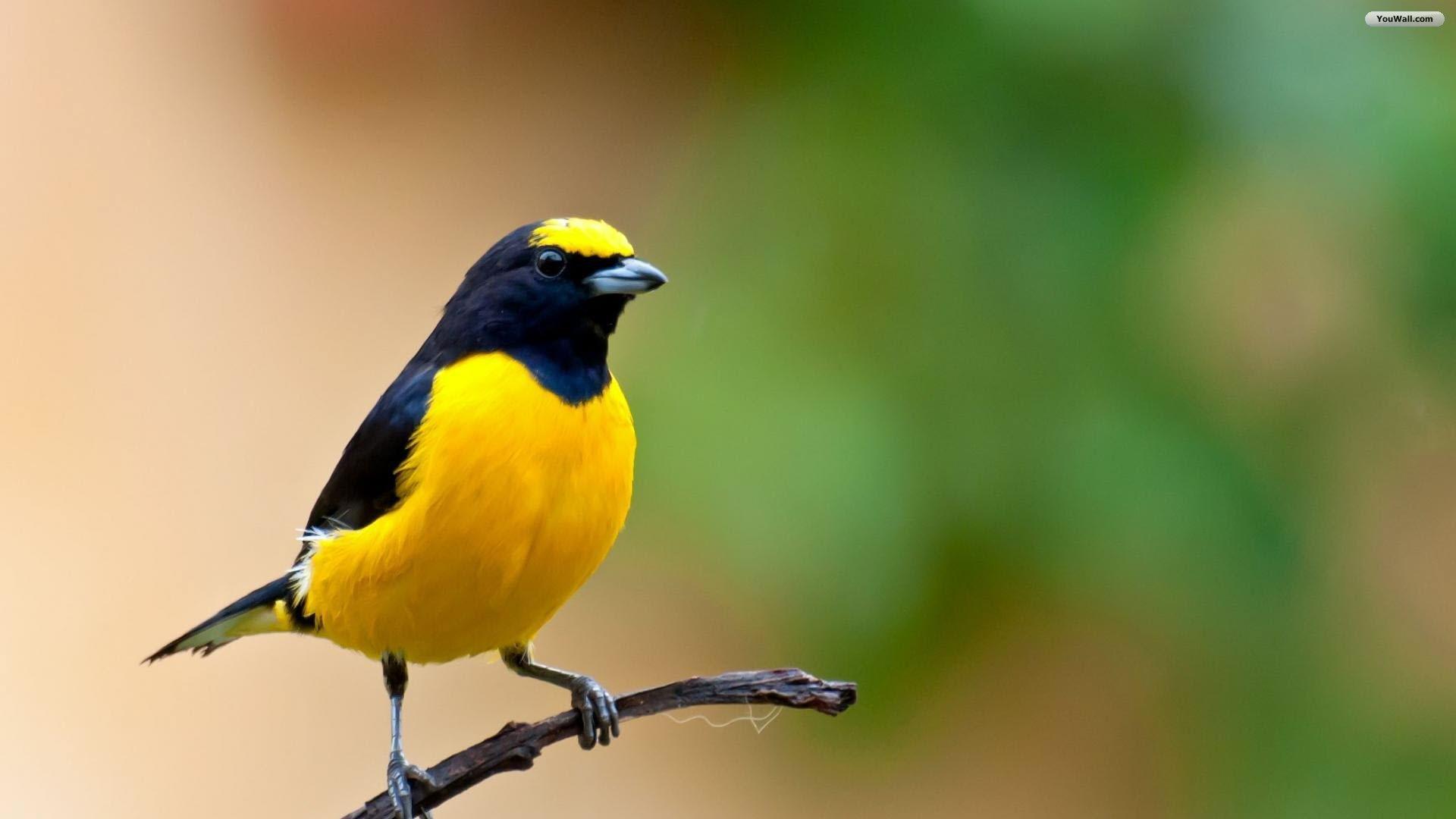Beautiful Yellow Bird HD WallpaperWelcome To StarChop 1920x1080