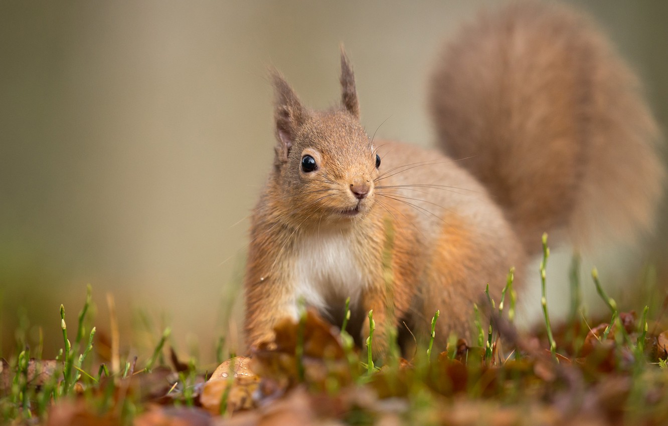 Wallpaper look pose background protein squirrel images for 1332x850