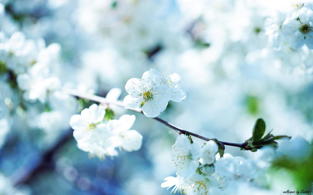 1280x800 Cherry blossom desktop PC and Mac wallpaper 1280x800