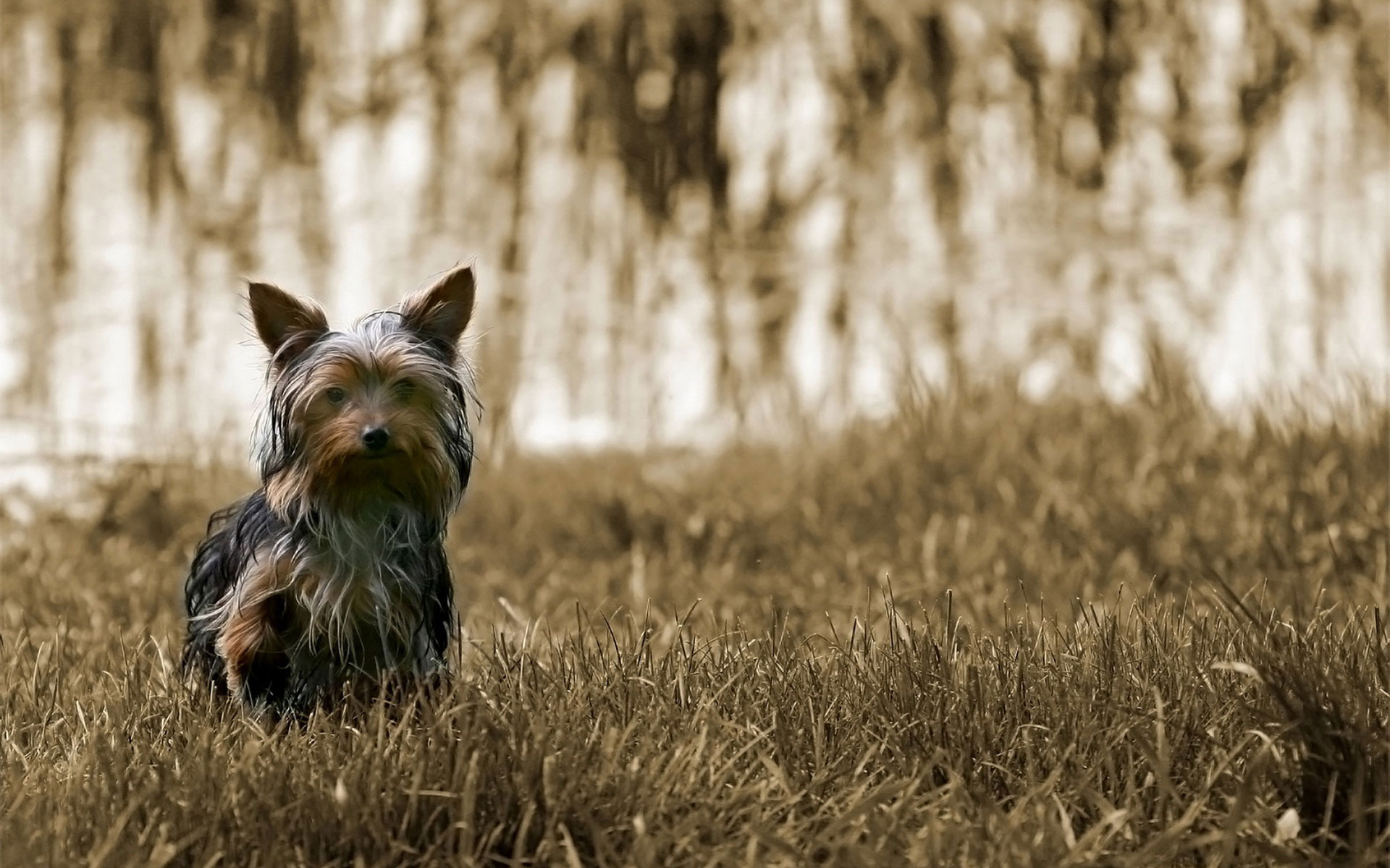 Yorkie Puppies Wallpaper   Wallpaper High Definition High Quality 1920x1200
