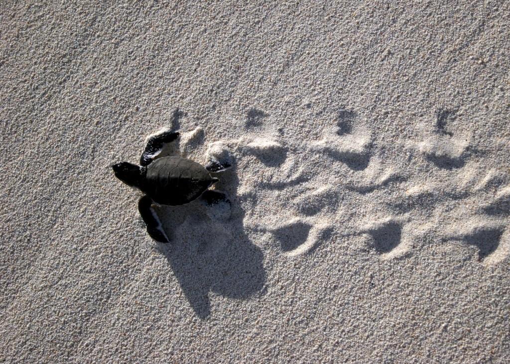 Baby Sea Turtles Long Road Ahead   Hawaii Pictures 1024x731