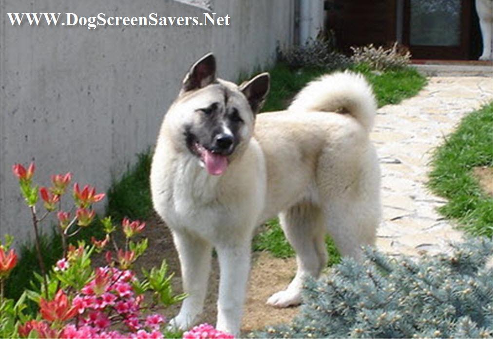 American Akita Dogs Screensaver 1012x697