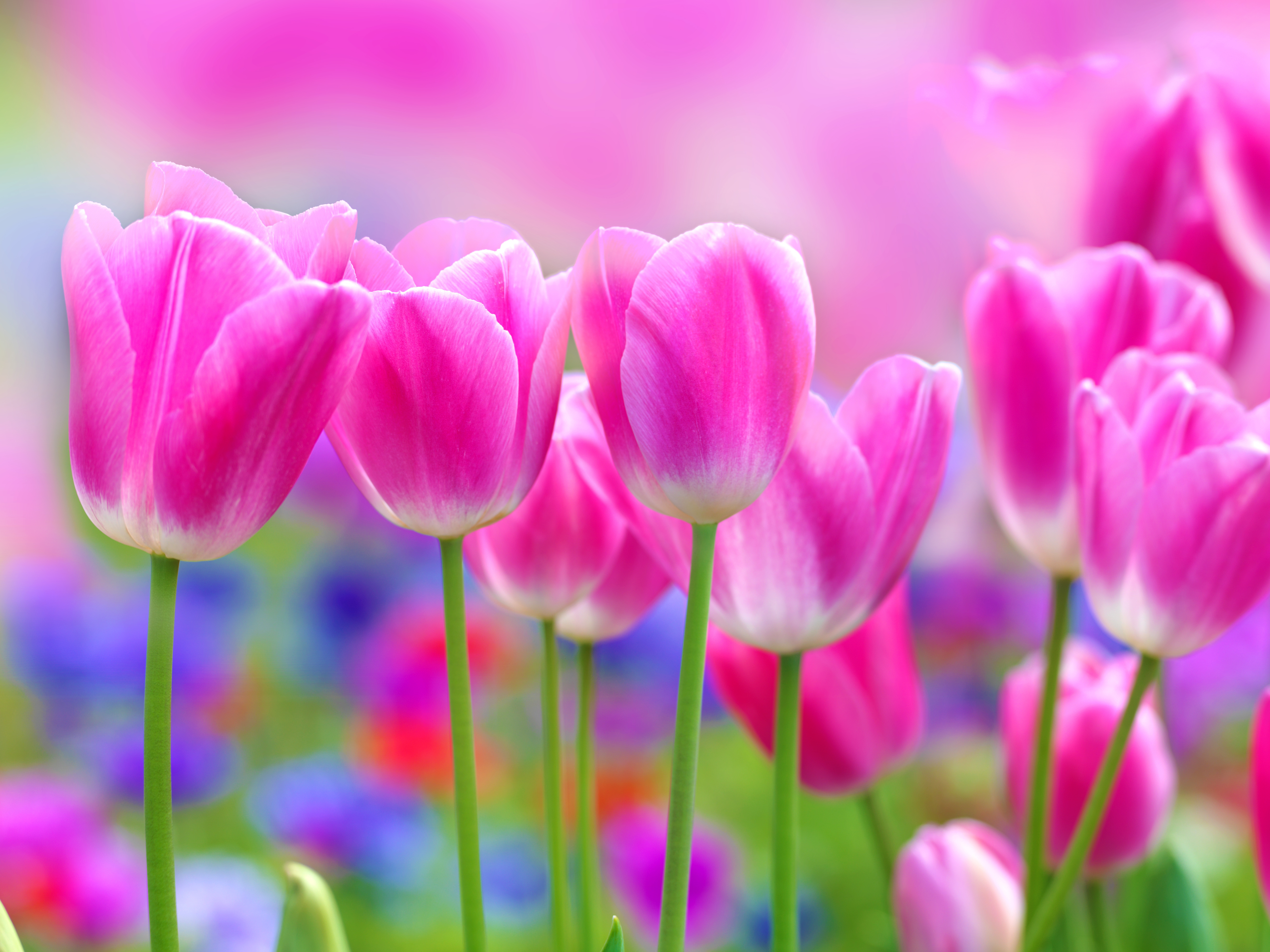pink tulips in a tulip field selective focus used photography 5304x3978