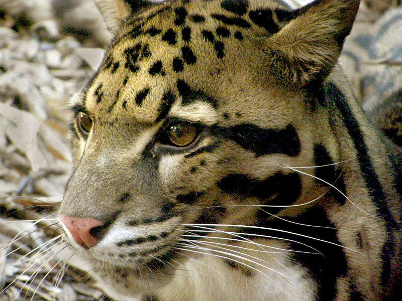 Clouded Leopard Pictures Wallpapers   Wallpaper 6 of 6 800x600