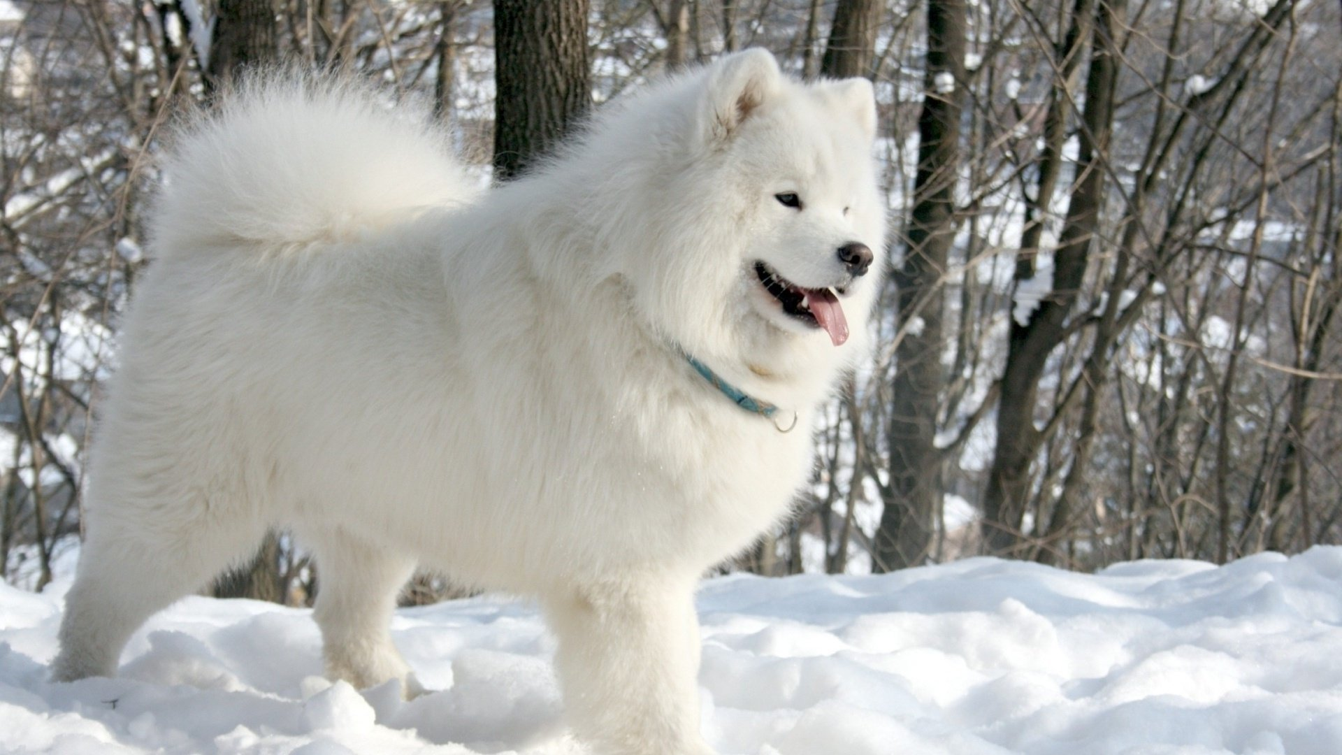 samoyed Dog Dogs Canine Wallpapers HD Desktop and Mobile 1920x1080