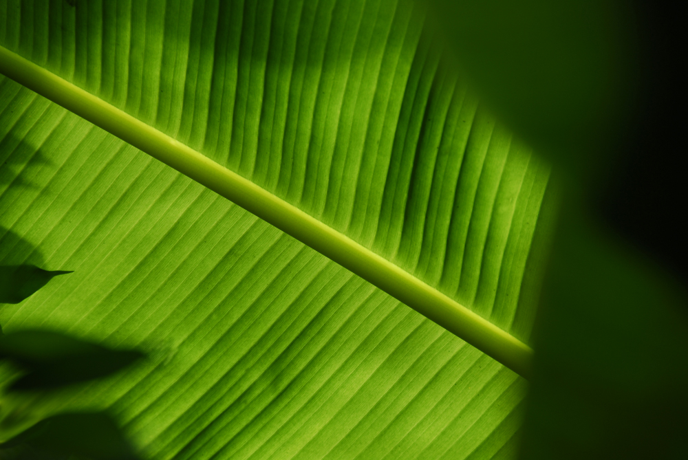 Banana Leaf Wallpaper Banana Leaf Geometry 2 by Hkdp 1000x669