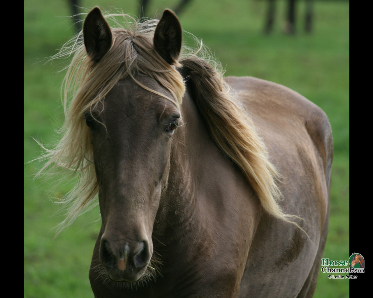 Rocky Mountain Horse Screensaver and Wallpapers 1280x1024
