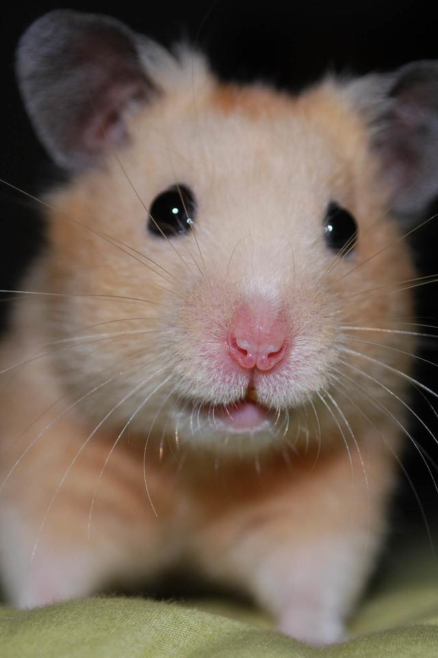 Cute Hamster Wallpaper   iPhone Wallpapers 640x960