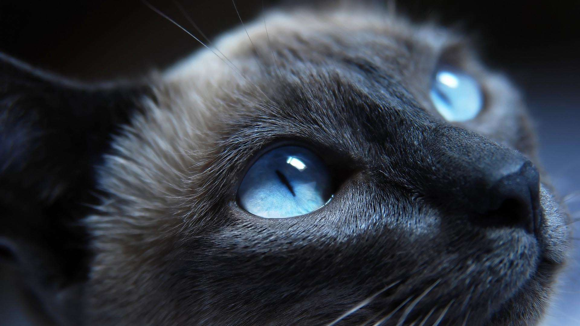 Cat Blue Eyes HD Wallpaper FullHDWpp   Full HD Wallpapers 1920x1080 1920x1080