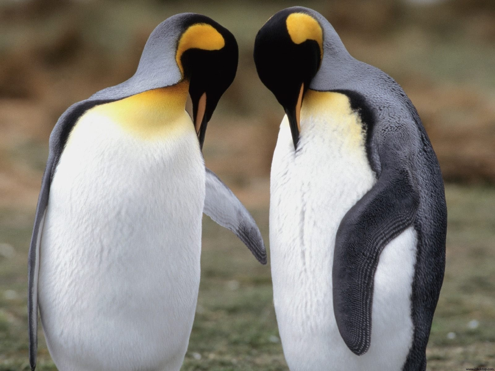 Tuxedo Check King Penguins Wallpapers in jpg format for download 1600x1200