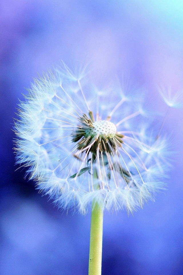 Dandelion | Simply beautiful iPhone wallpapers