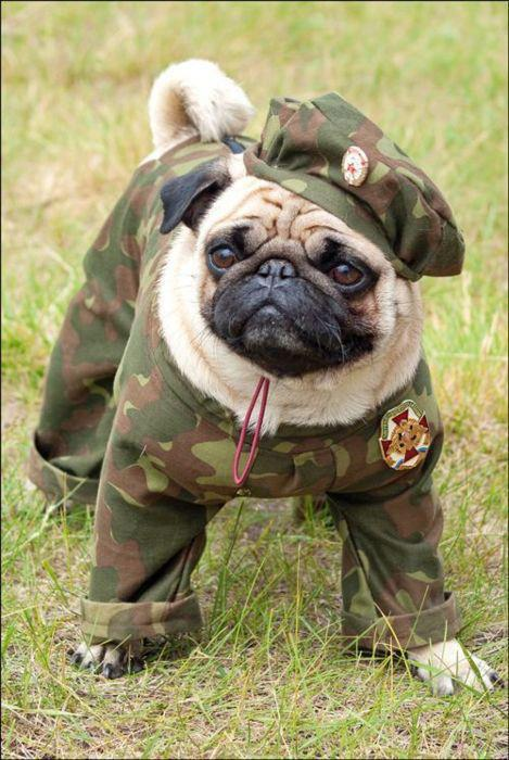 Day Pug photo and wallpaper Beautiful Veterns Day Pug pictures 469x700