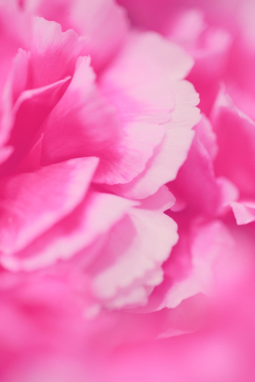Pink Carnation Pictures Download Images on Unsplash 1000x1500