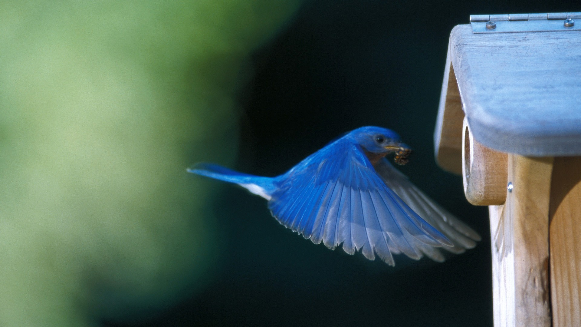 Bird Wallpaper Bluebird HD Widescreen WallPaper for your Desktop 1920x1080
