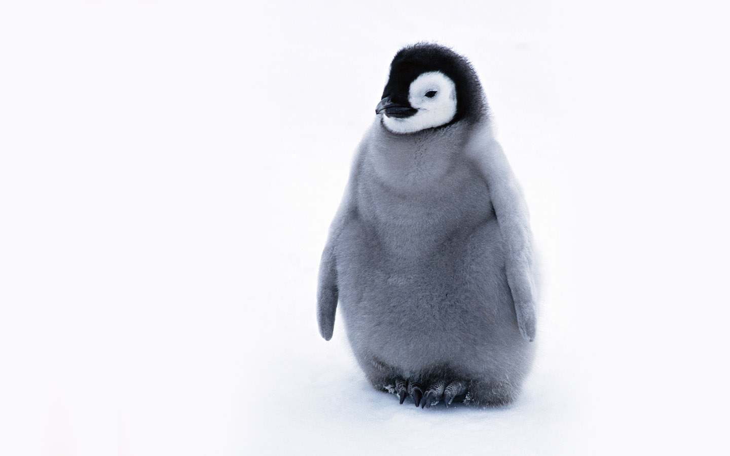 Pics Photos   Cute Penguin Wallpaper 1440x900