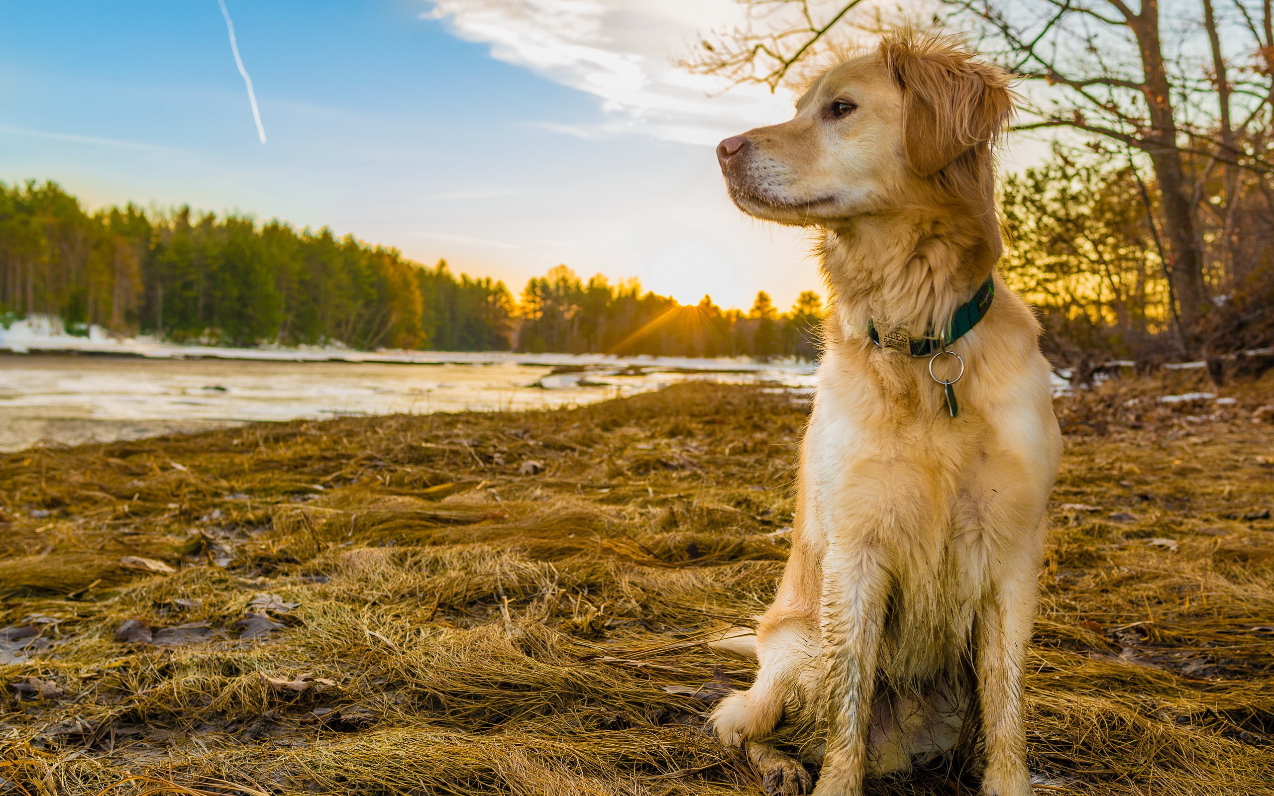Free Download Golden Retriever Wallpapers Pictures Images