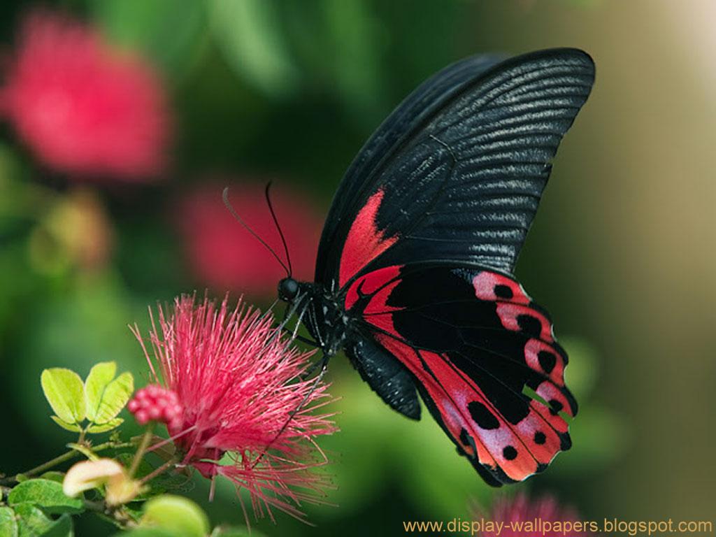 Wallpapers Download Butterfly Desktop Wallpaper HD 1024x768