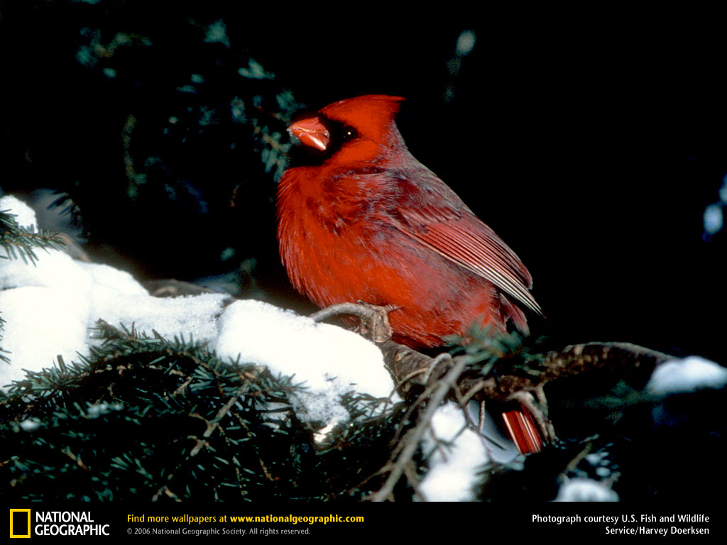 Cardinal Picture Cardinal Desktop Wallpaper Wallpapers 1024x768