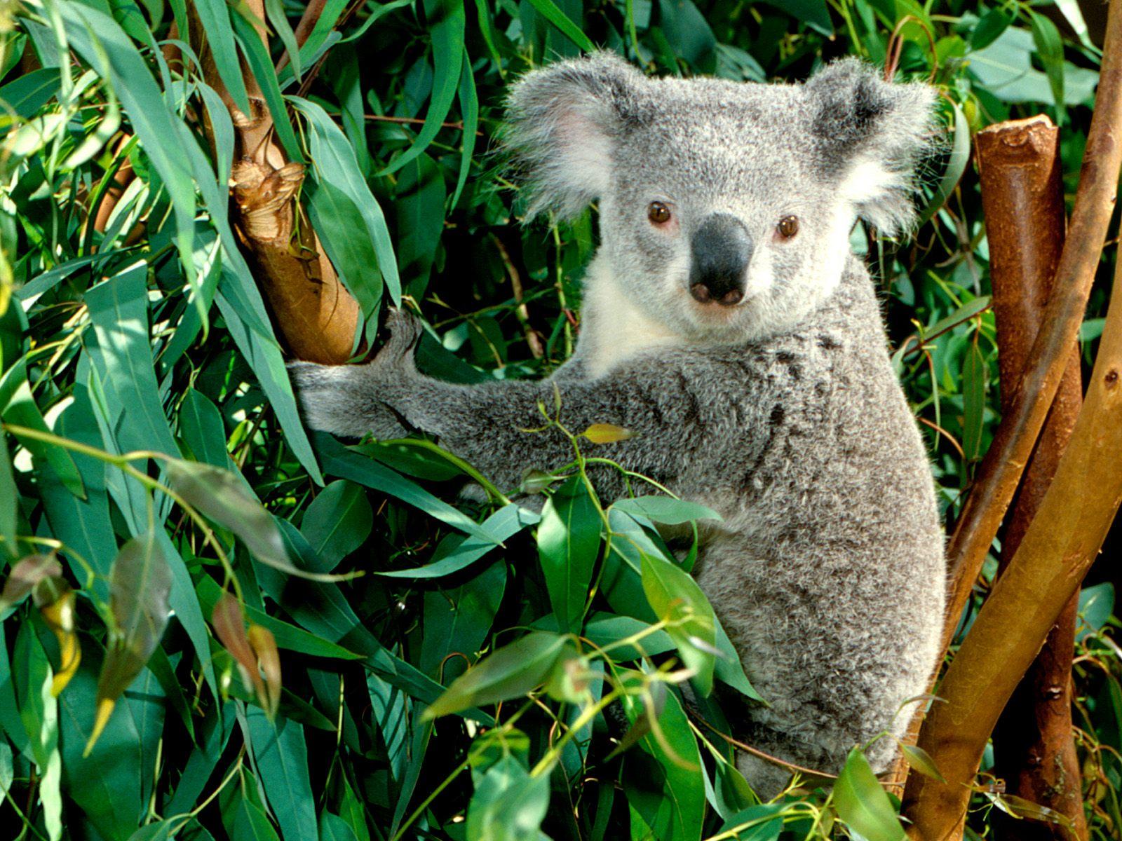 Animal Photo: Koala Wallpaper