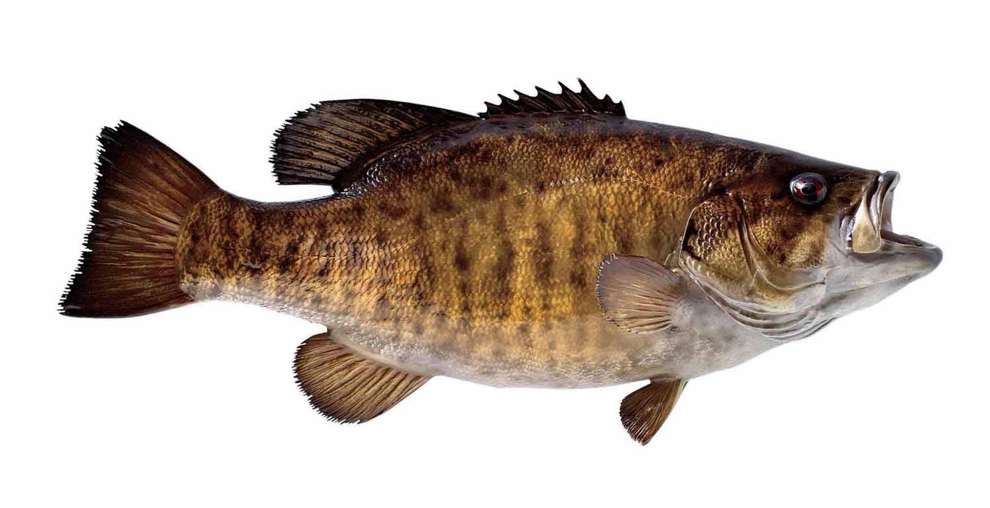 Smallmouth Bass Wallpaper Smallmouth bas 2000x1027