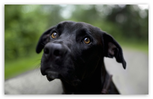 black labrador retriever t2jpg 510x330