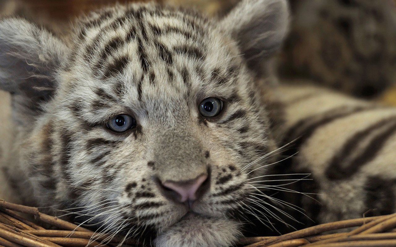 White Tiger cub wallpaper 28031 1280x800