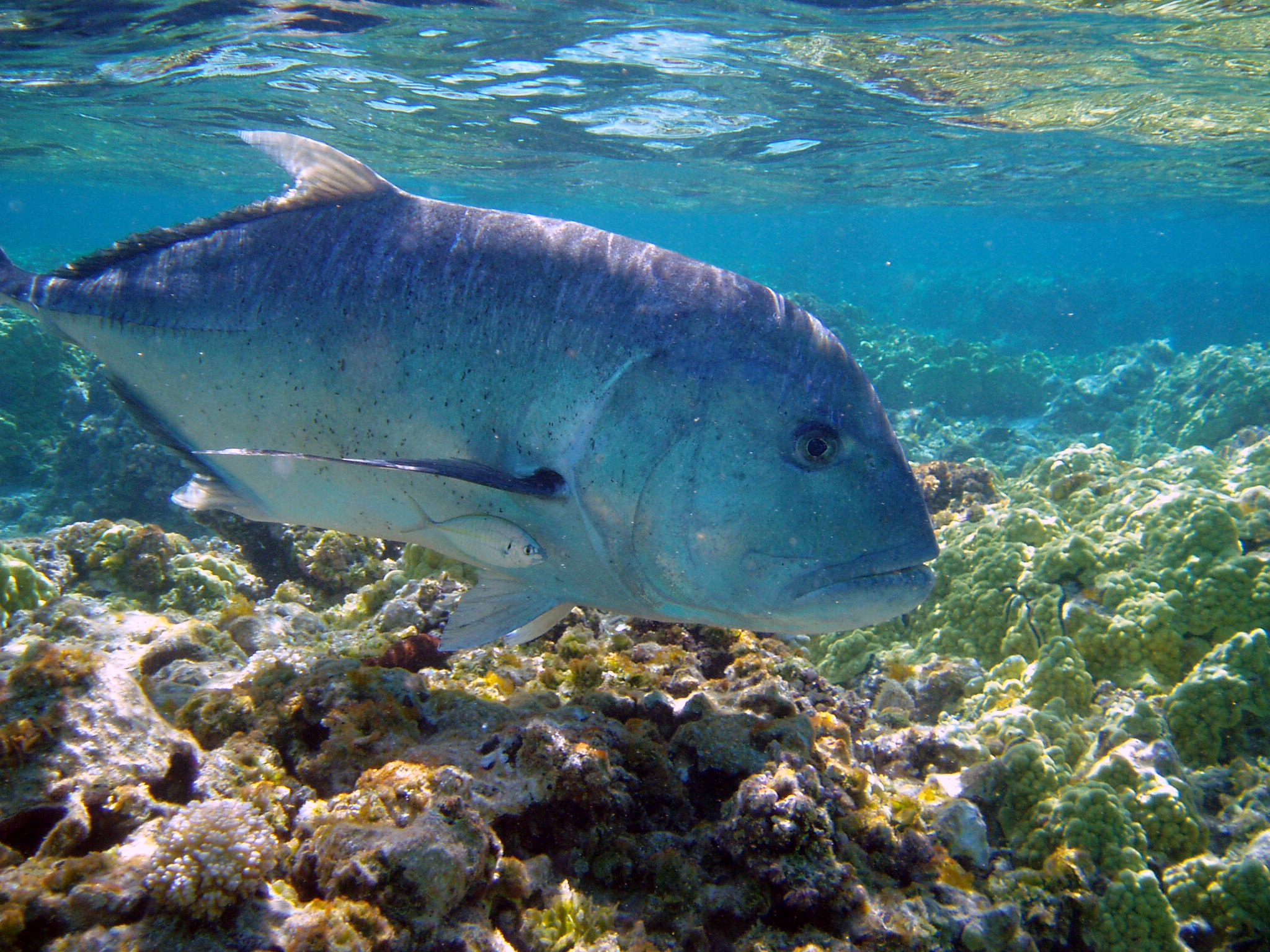 Best Great Trevally Wallpapers 8 Images 2048x1536