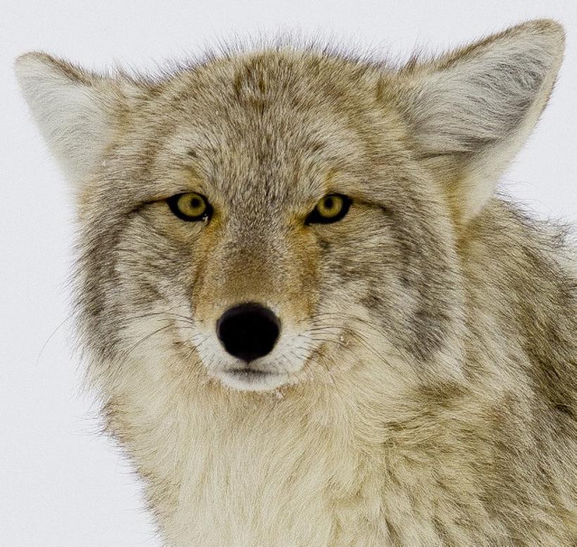 cool coyote wallpapers wallpapersafari