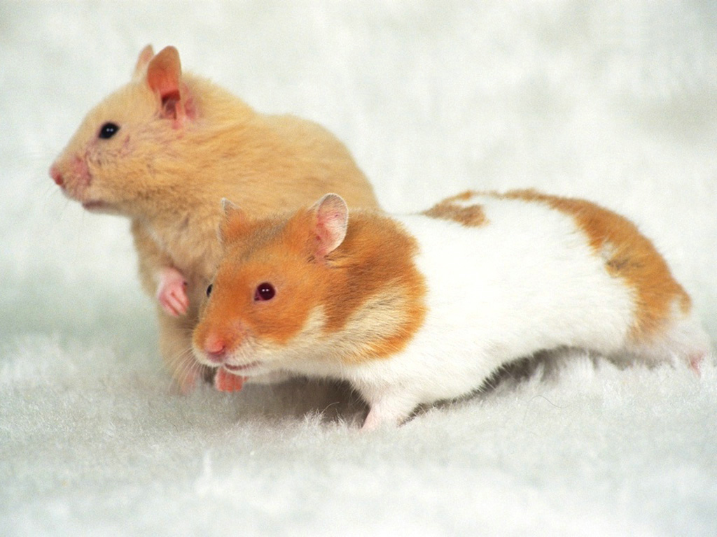 Hamster Wallpapers Fun Animals Wiki Videos Pictures 1024x768