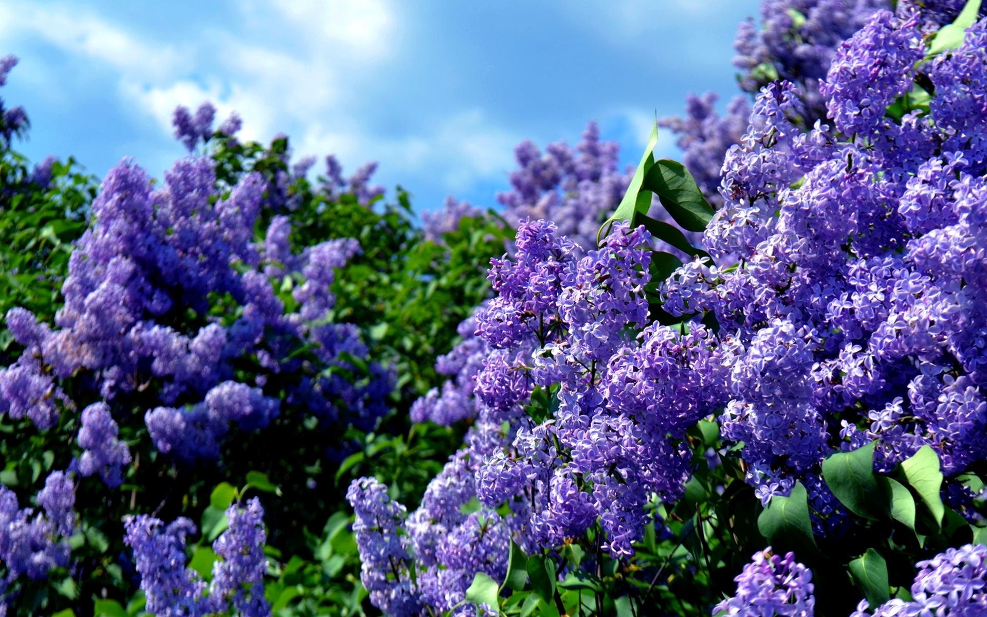 цветы природа сирень  № 2224160 без смс