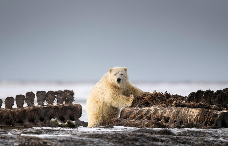Wallpaper white nature background shore bear bear bear 1332x850