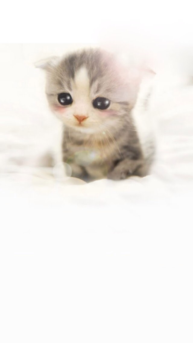 Cute Scottish Fold Wallpaper   iPhone Wallpapers 640x1136