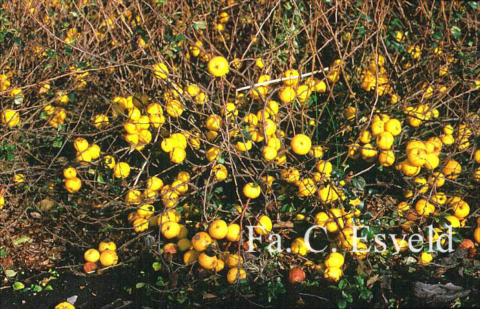 Chaenomeles Japonica Sargentii HD Walls Find Wallpapers 697x449