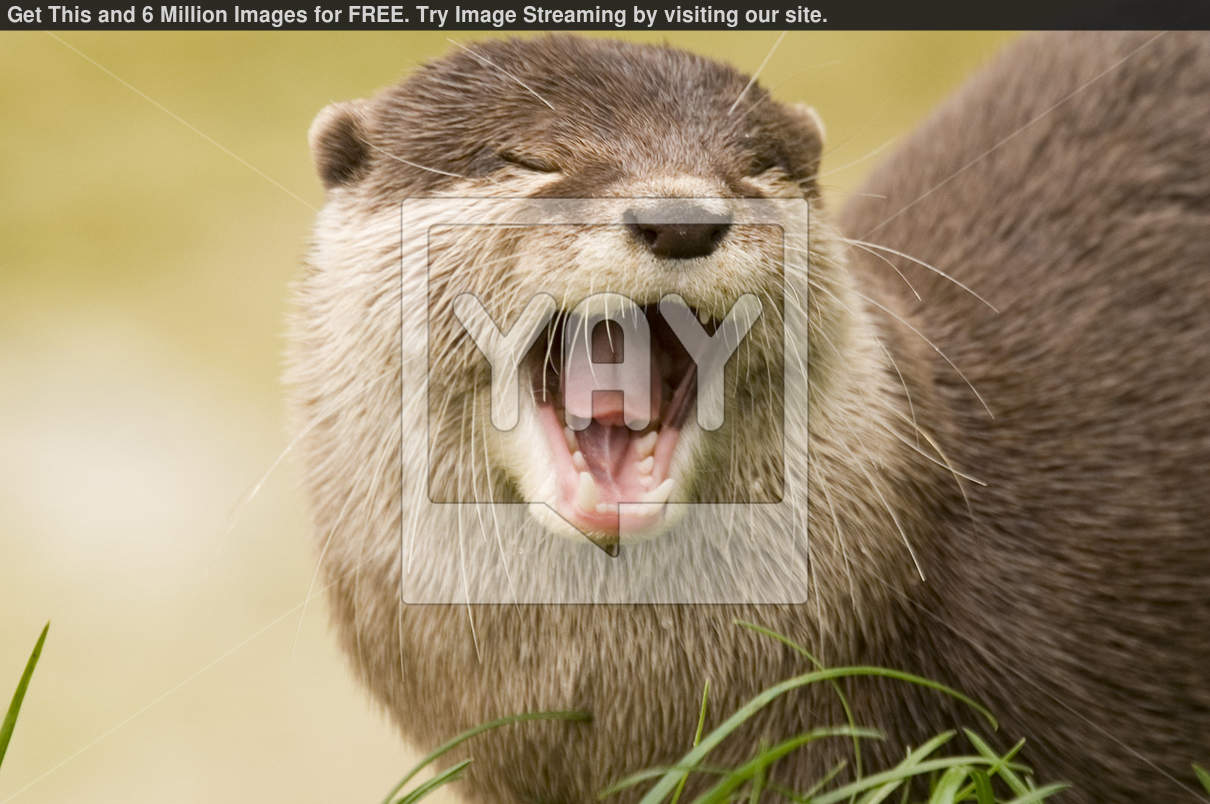 Otters Wallpapers Stock Photos Picture 1210x804