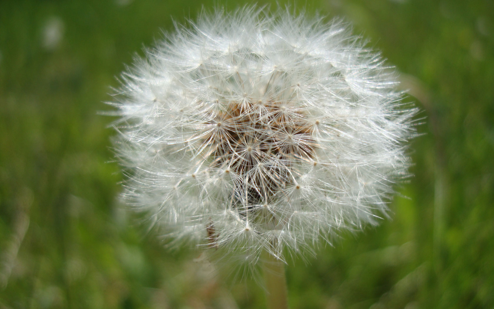 dandelion clock desktop wallpaper 1680x1050