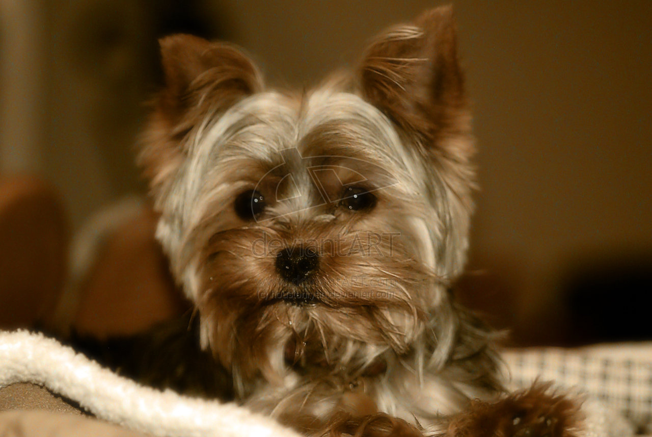 Yorkshire Terrier Cute Yorkie by houstonryanjpg 1280x857