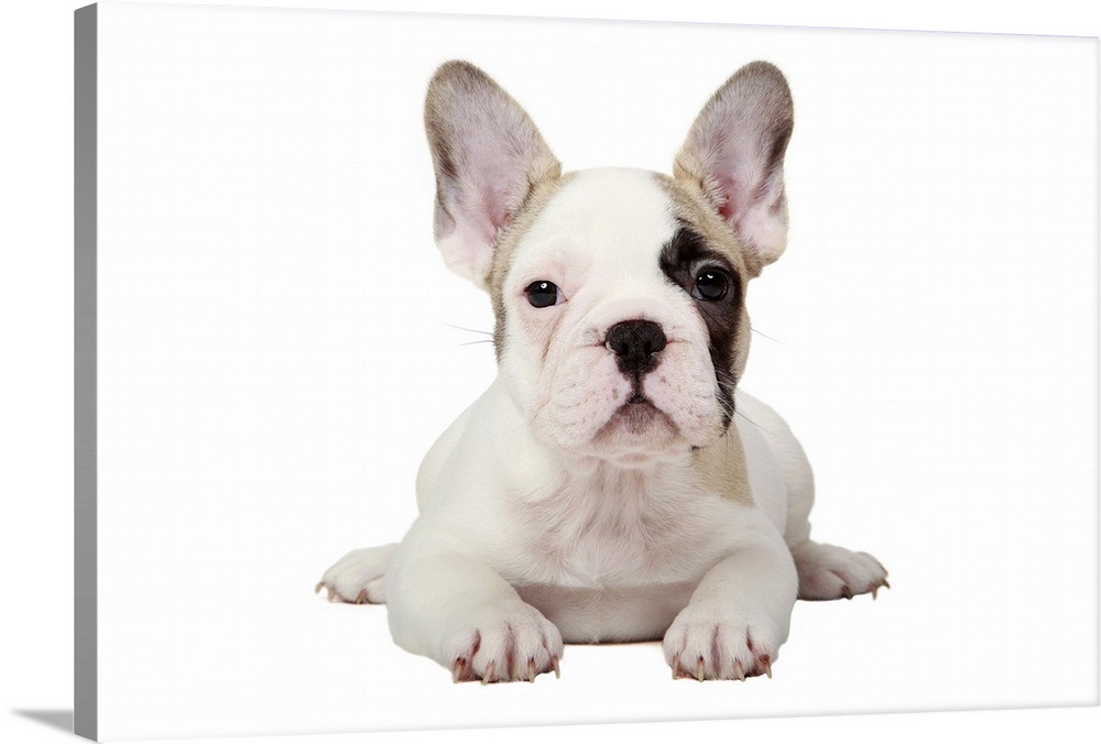 Fawn Pied French Bulldog puppy on white background Wall Art 1000x676