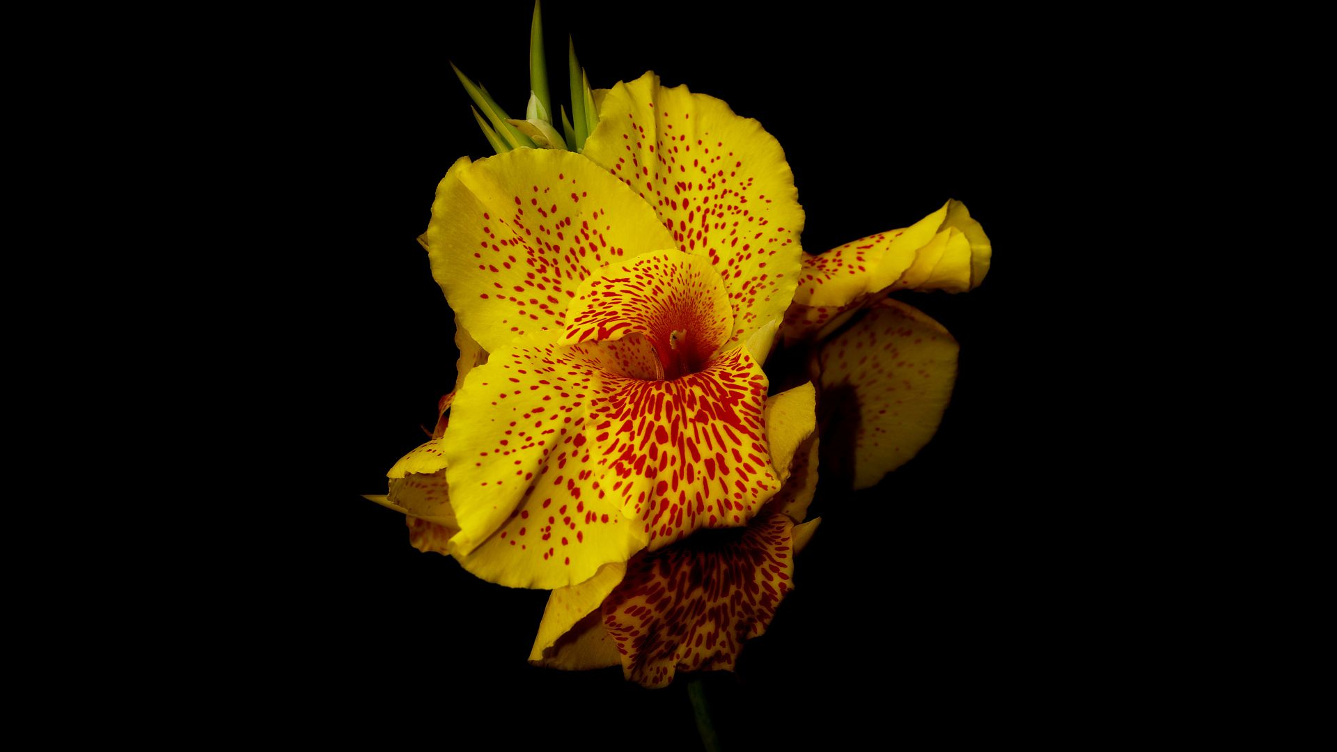 Canna Wallpaper Nature Canna flowers yellow 1920x1080