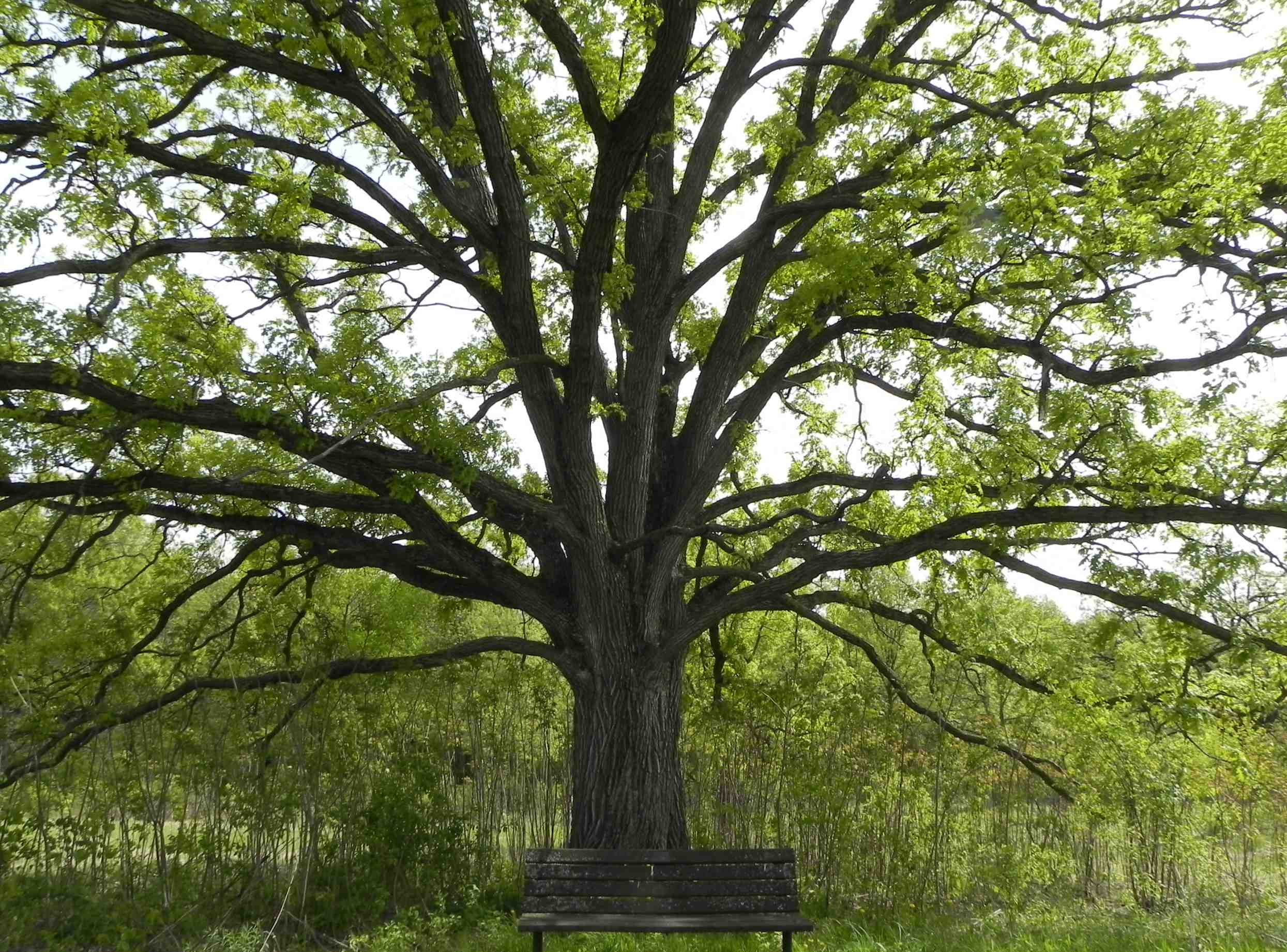 oak tree with bench 2489x1842