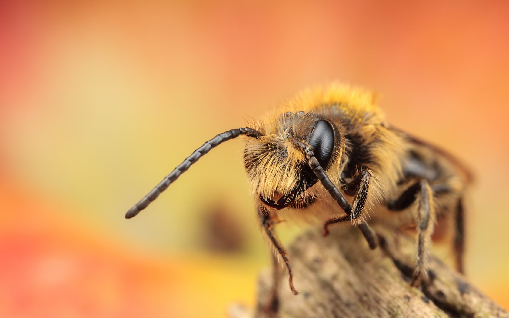 Bee Wallpapers HD Pictures One HD Wallpaper Pictures 1680x1050