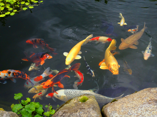 Live Koi Fish Swimming Dad can take home a decorative 530x398