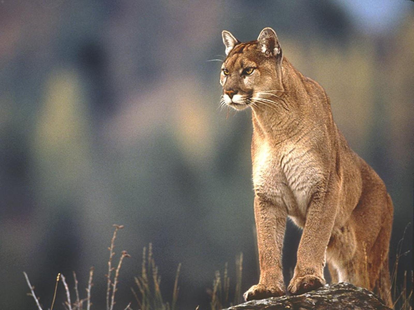 Free Download Mountain Lion Dowload Desktop Wallpapers Mac Os