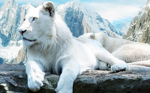 25 Beautiful White Lion Wallpaper 500x312