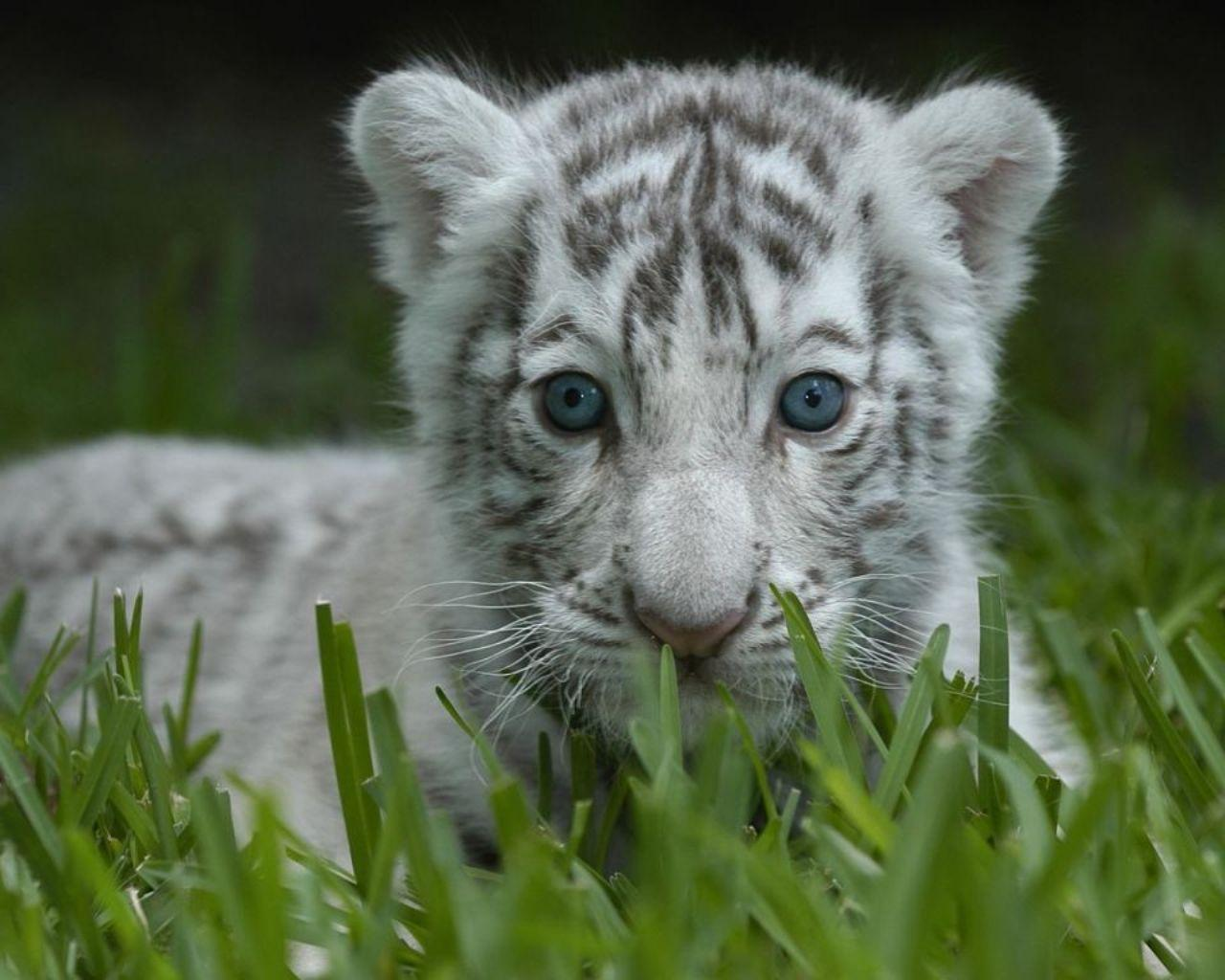 White Tiger Cub Wallpapers 1280x1024