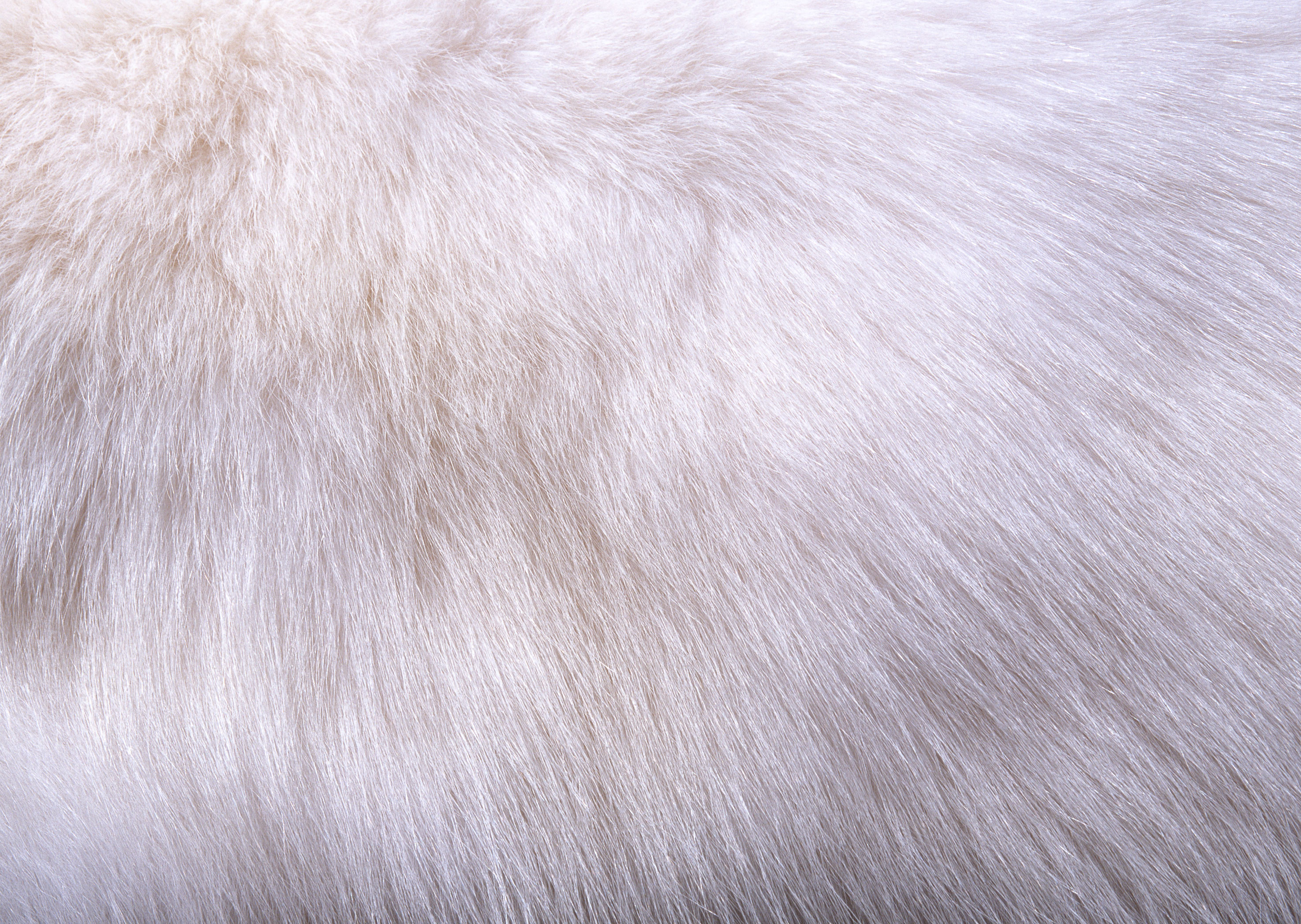 Download texture White fur texture background image 2950x2094