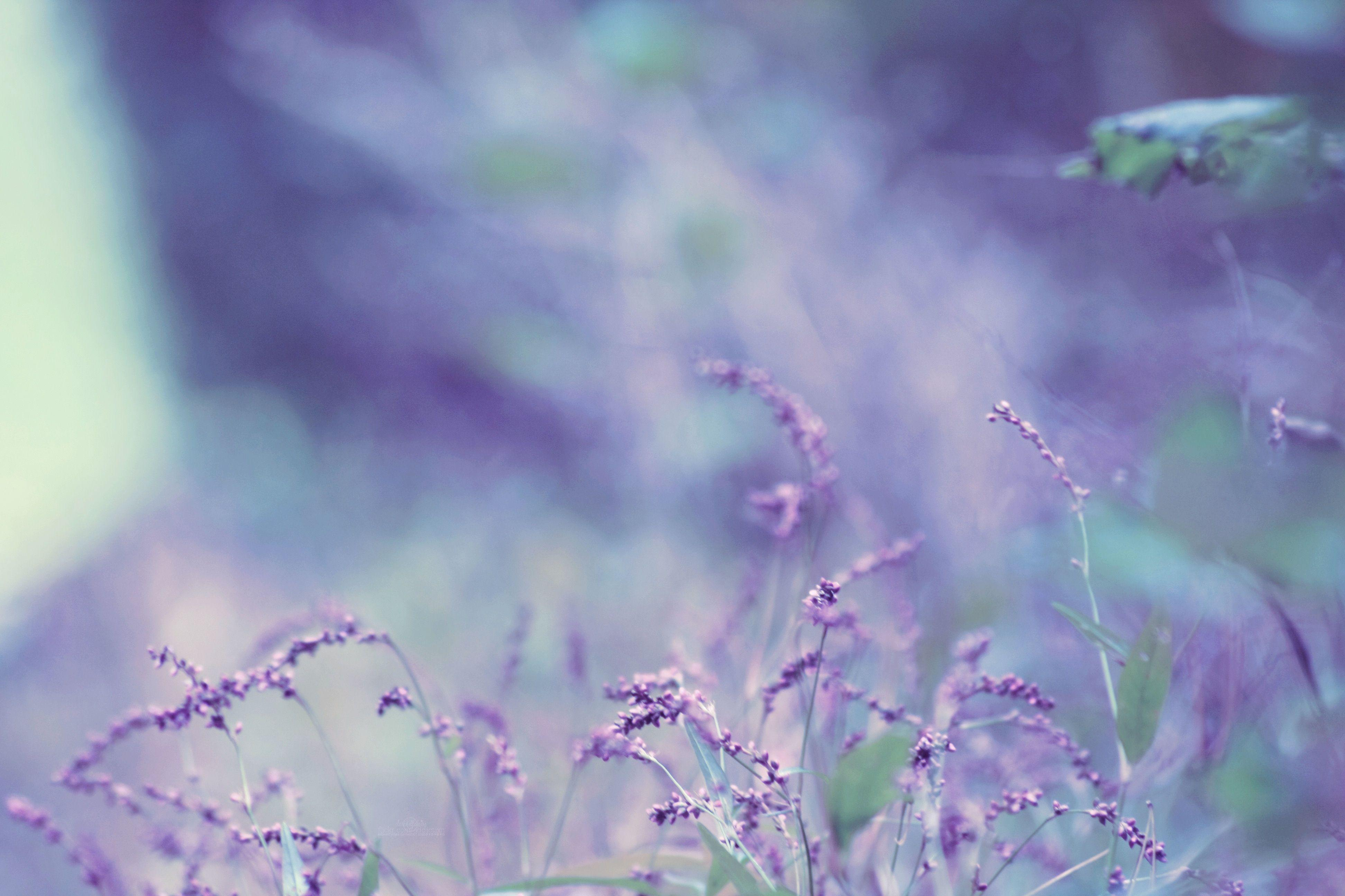 Lavender Wallpapers 3888x2592