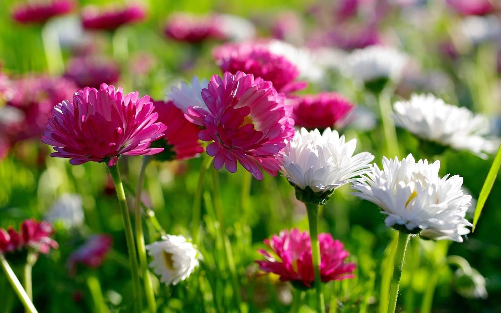 HD WALLPAPERS FOR DESKTOP spring flowers 1600x1000